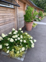 Hydrangea Limelight and Hakonechloa grass repeated along the house front