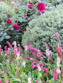 Persicaria affinis Darjeeling Red, Hebe Sutherlandii and Rosa Surrey sit harmoniously together