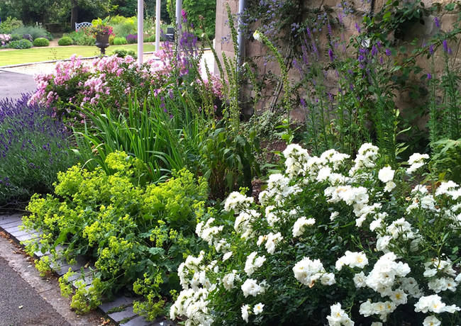 Rosa Kent, Alchemila mollis, lavender and Rosa Ballerina lead into the main garden
