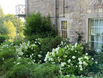 Hydrangea arborescens Grandiflora to the side of the house