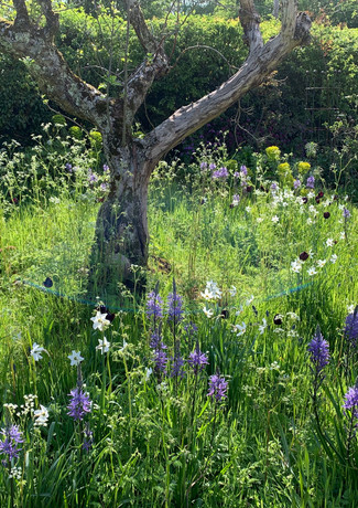 Bulbs in long grass under an old apple tree
