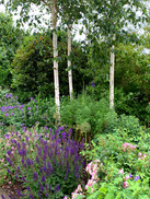 Silver birch planted to screen a house beyond