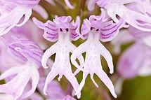 flowers-look-like-animals-people-monkeys-orchids-pareidolia-18.jpg