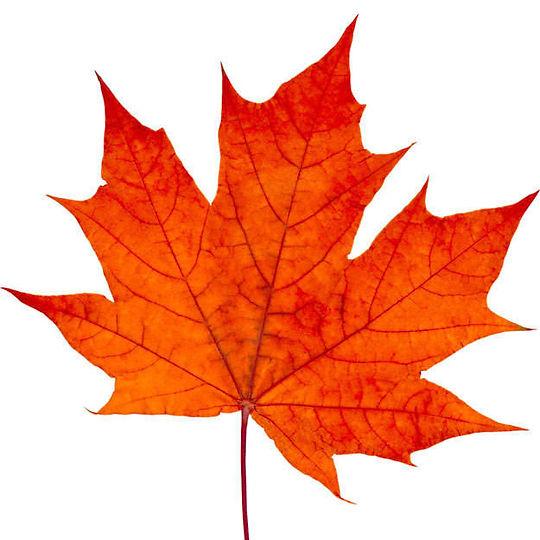 maple-leaves-images-159136-3949123.jpg