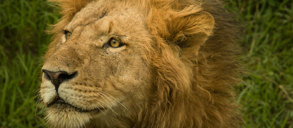 In the Footsteps of Lions: A Journey into the Maasai Mara