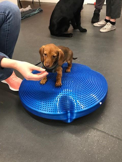 KC Puppy Training Classes