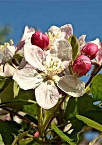 Obstblüte.jpg