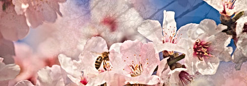 Mandelblüte 3.jpg