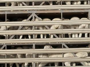 הצעה לאיסור על משלוחים חיים באנגליה   עברה את המכשול הראשוני !  Proposed ban on live animal exports