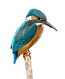 Kingfisher Logo_edited-flipped.png