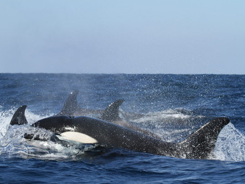orcas playing with sailing yachts