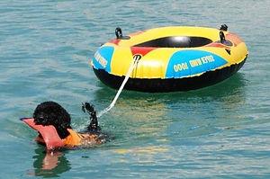 Spanischer Wasserhund bei der Arbeit Zucht A Cada Paso