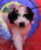 Spanischer Wasserhund Welpen A Cada Paso