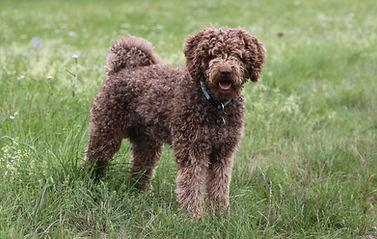 Spanischer Wasserhund Chila Ruby of Dark Eye's