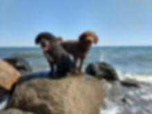 Spanische Wasserhunde Zucht A Cada Paso