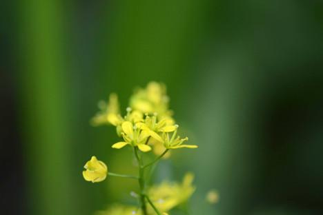 Descurainia pinnata (Western tansy-mustard)
