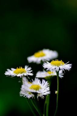 Erigeron annuus (Daisy fleabane)