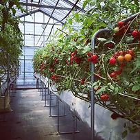 ドワーフトマト