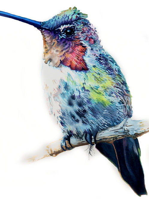 HUMMINGBIRD NO.2   Limited Edition Paper Print