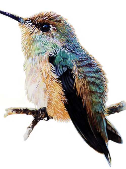 HUMMINGBIRD NO.1   Limited Edition Paper Print
