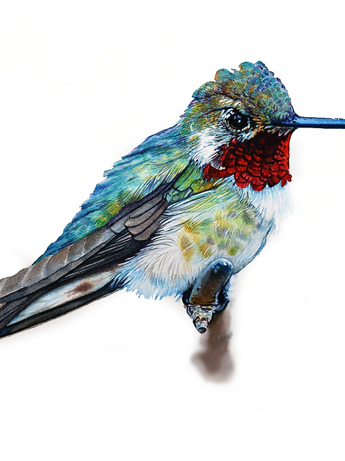 HUMMINGBIRD STUDY NO.5