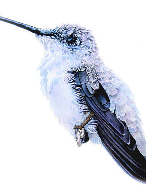 HUMMINGBIRD NO.6   Limited Edition Paper Print
