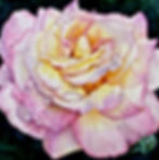 Rose with Water drops by Brynn Carroll