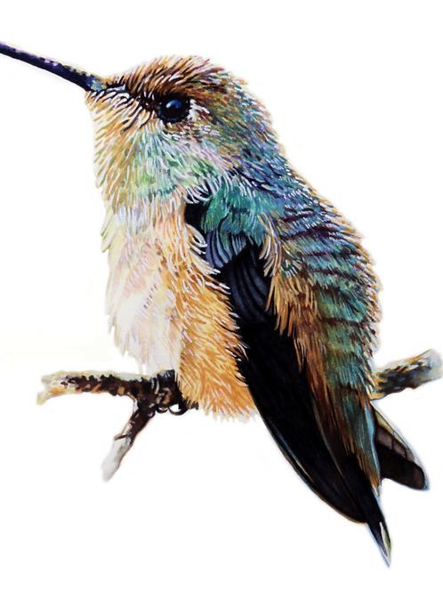 HUMMINGBIRD STUDY NO.1