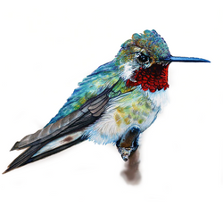 HUMMINGBIRD NO.5
