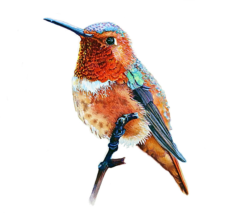 Hummingbird No.4