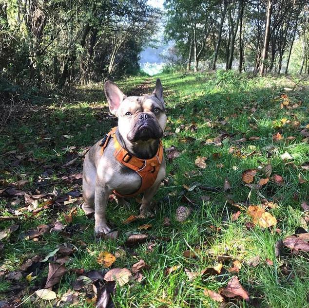 monte french bulldog training group walk
