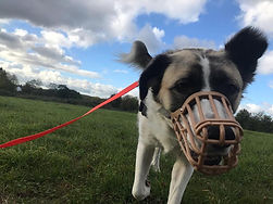 cauta reactive dog solo walking.jpg