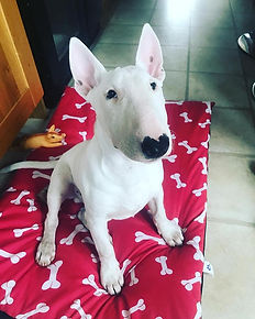 english bull terrier puppy dog walking b