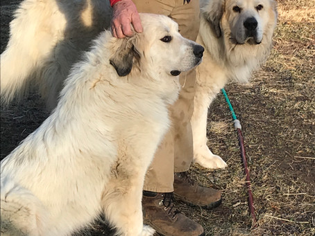 Buy Newfie/Great Pyr Puppies in time for Valentines Day