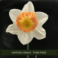 Third Prize Daffodil Single.png