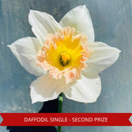 Second Prize Daffodil Single.png
