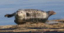Zeehond in Nieuwpoort.jpg