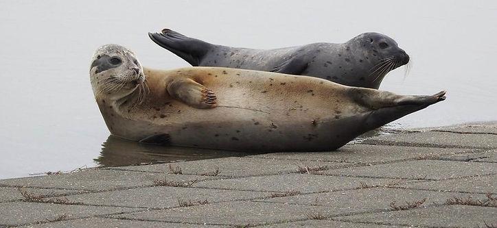 Zeehonden Nieuwpoort.jpg
