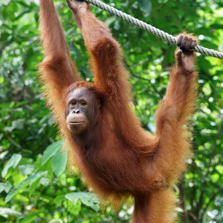 orangutan-sarawak-borneo-58741d893df78c1