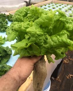 lettuce - dhg