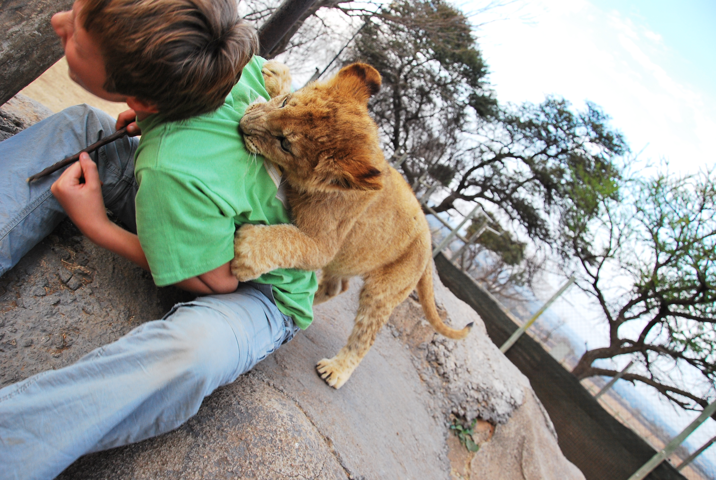 bit by lion. parent of the year award
