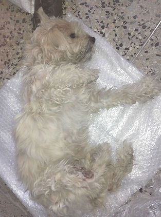 Peru-rescue-centre-white-dog-rescued_edi