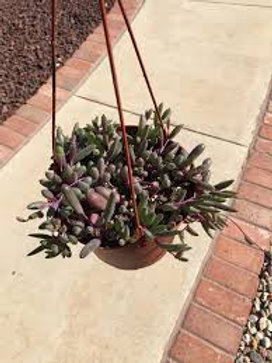 Othonna capensis 'Ruby Necklace' , Succulent rare plant