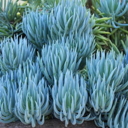 Senecio-Mandraliscae (chalk sticks)