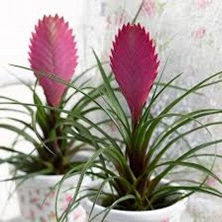 Tillandsia cyanea - Pink Quill