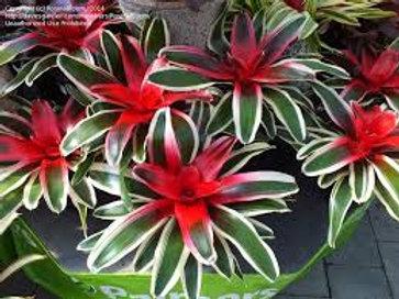 Neoregelia carolinae var. tricolor