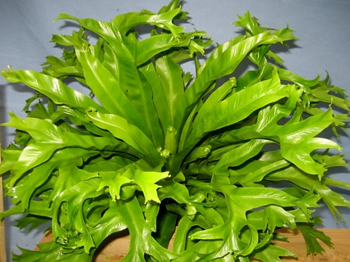 Birds nest fern crested form