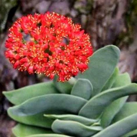 """Crassula falcata  (C. perfoliata falcata minor)  """"Airplane Plant"""""""