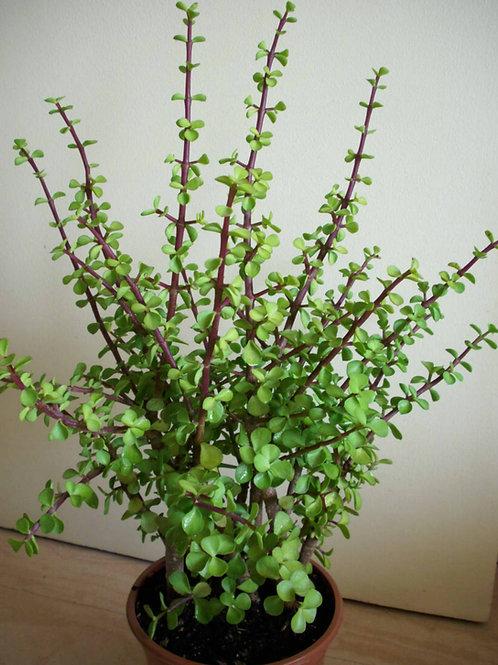Portulacaria afra, Money Tree