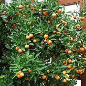 Kumquat Calamondin